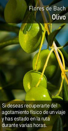 El olivo induce un flujo más natural de la energía, relajando la tensión producida por la fatiga, lo cual permite mejorar la calidad del descanso y optimizar el tiempo de recuperación. Bach Flowers, Nature Secret, Salud Natural, Alternative Medicine, Natural Medicine, Botany, Reiki, Healthy Life, Herbalism