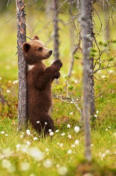 A bear cub just relaxing against a tree among the watery meadows of the Taiga forest in FInland
