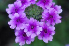 Life is a Garden - Verbena Verbena, Antirrhinum, Fast Growing Plants, Perennials, Planting Flowers, Garden, Life, Flower, Garten
