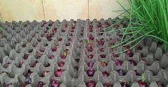 Zemina nie je potrebná. Takto si môžete pestovať cibuľu po celý rok a u vás v izbe - Báječný lekár