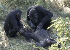 Chimps have been seen engaging in;mortuary activity for the first ever time, suggesting that animals think and even worry about death. Scientists have reported watching a chimp clean her son's teeth after he died, the first time that animals have been seen behaving in that way. Almost all reports of animals using tools do so on their own – but the new study reports not just the social use of tools among chimpanzees, but using it in a very strange way.
