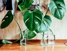 """It is safe to say that the monstera plant is absolutely breathtaking. Nicknamed the """"Swiss cheese plant"""" for its giant, holey leaves, the monstera is Monstera Deliciosa, Swiss Cheese Plant, Household Plants, Household Tips, Plant Cuttings, Rose Cuttings, How To Grow Taller, Snake Plant, Water Plants"""