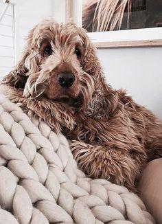 doodles   shedless dog breeds