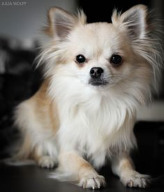 Cute Little Puppies, Cute Dogs And Puppies, Baby Dogs, I Love Dogs, Pet Dogs, Pets, Chihuahua Puppies, Long Haired Chihuahua, Papillon Dog
