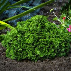 Dwarf Hinoki Cypress   Chamaecyparis obtusa 'Nana'   For Sale Online   The Tree Center