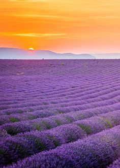 Lavender fields: Provence, France