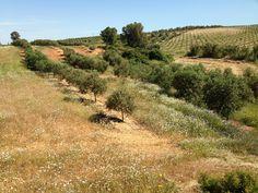 Olivar con hierba
