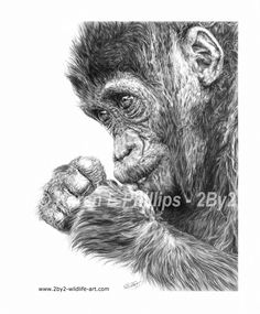 This is my drawing of a Gorilla Infant, contemplating his next move.  The original is for sale.  This piece of artwork is also available as a Limited Edition A3 giclée print (Limited to just 150 copies, worldwide.) for £65 + p&p.  An A4 giclée print is also available at just £48 + p&p.