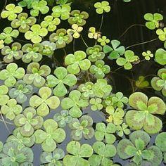 Marsilea Mutica - tropical pond plants for my indoor water garden