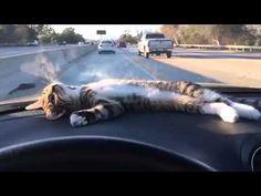 車に乗るのが好きな猫もいる。ダッシュボードの上のぐで猫 : カラパイア