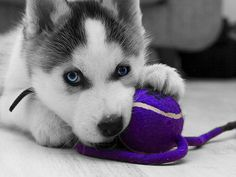 huskey pup