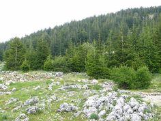 Chouf, Barouk Cedar Reserve, still young trees