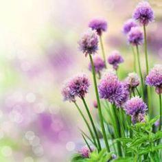 La ciboulette est une plante aromatique très facile de culture et qui offre un rendement souvent élevé. L'entretien, de la plantation à la récolte vous assurera au fil des ans une belle croissance. En terre au jardin ou en pot sur un balcon ou un rebord de fenêtre, voici tous les conseils de culture.  En savoir plus sur http://www.jardiner-malin.fr/fiche/ciboulette-culture-semis.html#9QiuAmmQWH2jeyPr.99