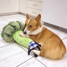 "29.8k Likes, 1,200 Comments - Loki, Bear, & Momo (@lokistagram) on Instagram: ""No u can't have my broccoli #saidnooneever"""