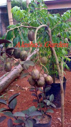 Sale! Kedondong fruit