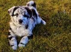 blue merle australian shepard/catahoula/blue heeler - no one really seems sure on this one. Australian Shepherd Husky, Australian Shepherds, Cute Puppies, Cute Dogs, Dogs And Puppies, Doggies, Animals And Pets, Baby Animals, Cute Animals