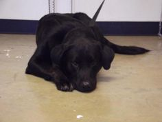 """UNLISTED. """"Maverick"""". Labrador Retriever • Adult • Male • Large Richland County Dog Warden Mansfield, OH. Hi my name is Maverick! I am a nervous boy but so sweet. I know some basic commands. I love getting affection and will even roll over on to let everyone pet my belly. I am hoping that I have owners looking for me, but if not its their loss because I am an amazing boy looking for a loving home! I can be see at Richland County Dog Shelter in Mansfield, OH. Email…"""
