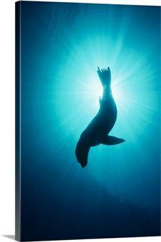 Sea Lion - Underwater Channel Islands National Park, California
