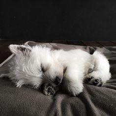 Nap time for Eve! by emma_the_westie