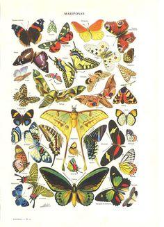 Butterflies Vintage Print Natural History Illustration Butterfly Chart