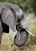 animals in the wilderness - Google Search Image Types, Google Images, Wilderness, Trunks, Elephant, Africa, Stock Photos, Animals, Google Search
