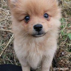 milo #September,  pomeranian -  puppy