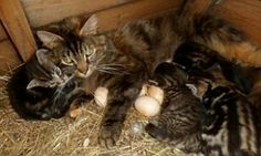 Lizzy gave birth in a chicken pen. She shares egg sitting duties with a chicken, who watches her kittens.