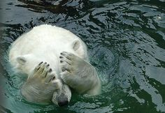 Ashamed Polar Bear  You don't want to see what he did in the water.