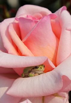 """Can you see the small frog amongst the rose petals?"""