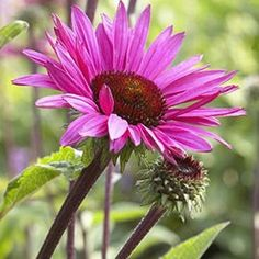 Echinacea 'Fatal Attraction'®