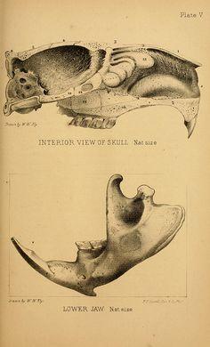 Beaver skull, The American beaver and his works, J.B Lippincott & Co.,1868.