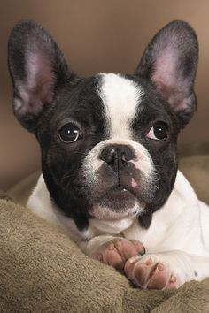 .believe this is a frenchton...