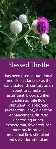 Medicinal vanilla seeds Cnicus Benedictus 5 pcs Blessed Thistle