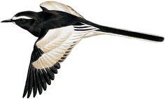 セグロセキレイ|日本の鳥百科|サントリーの愛鳥活動
