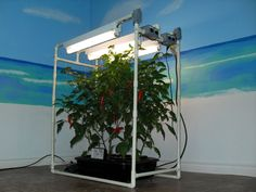 Picture of My Indoor DWC Hydroponics System