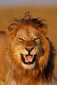 lion   Marius Coetzee