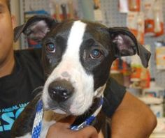 Adoptable Dog: Stella - Pit Bull Terrier Mix (Brooklyn, NY) #pets #animals…