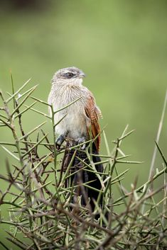 White-browed coucal by Nimit Virdi / 500px