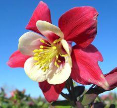 Colorado Blue Columbine 'Origami Red and White' (Aquilegia x caerulea)
