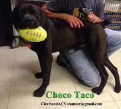 URGENT! Anyone want to play??!! I have the ball!!Please share gorgeous sweet Choco Taco!! CLEVELAND OHIO EMAIL: ClevelandACVolunteer@gmail.com  https://www.facebook.com/rescuemeohio.org/photos/a.442209639156548.103772.312505432126970/826143777429797/?type=1&theater