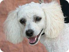 Palmdale, CA - Kai Dog/Poodle (Miniature) Mix. Meet Peter a Dog for Adoption.