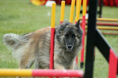 Dog Agility 2012 The Royal County of Berkshire Show