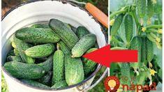 Rada pre všetkých, ktorí sa chystajú pestovať uhorky: Pri vysievaní sa držte tohto jednoduchého pravidla a nebudete vedieť, čo s toľkou úrodou! Cucumber, Diy And Crafts, Food And Drink, Gardening, Fruit, Vegetables, Outdoor, Okra, Terrarium