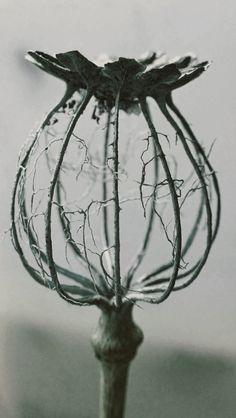 "pausesbetweenthought: "" Nature can be so devastatingly beautiful. (Poppy skeleton- via hangugsarang.tumblr.com) """