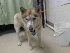 03/13/17- HOUSTON-EXTREMELY URGENT- SHELTER AT 3X CAPACITY - This DOG - ID#A479312 I am a male, red and white Siberian Husky. My age is unknown. I have been at the shelter since Mar 13, 2017. This information was refreshed 22 minutes ago and may not represent all of the animals at the Harris County Public Health and Environmental Services.