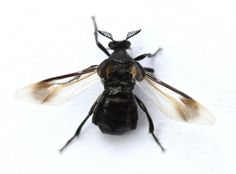 Ripiphorus