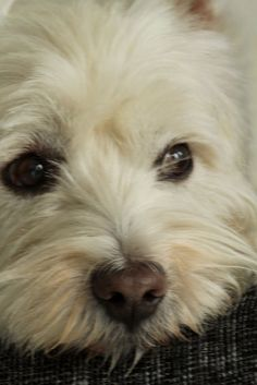 Westies one of my favorite dogs Cute Puppies, Cute Dogs, Dogs And Puppies, Doggies, Highlands Terrier, West Highland Terrier, Westies, Bichons, Terriers