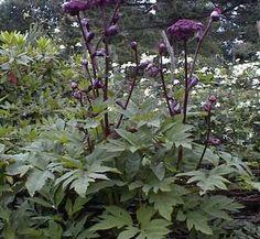 Angelica gigas 1 flower, form