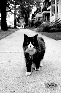 Zorro : The Walking Cat