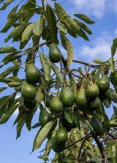 Cómo cultivar el árbol del aguacate o palta